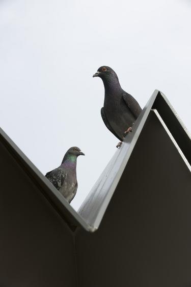pigeon_sq_detail2